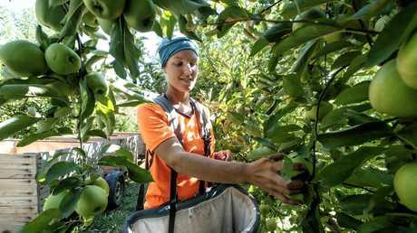 Belgian backpacker Plaloe Miclotte picks fruit — a job Scott Morrison is keen to give back to Australians.