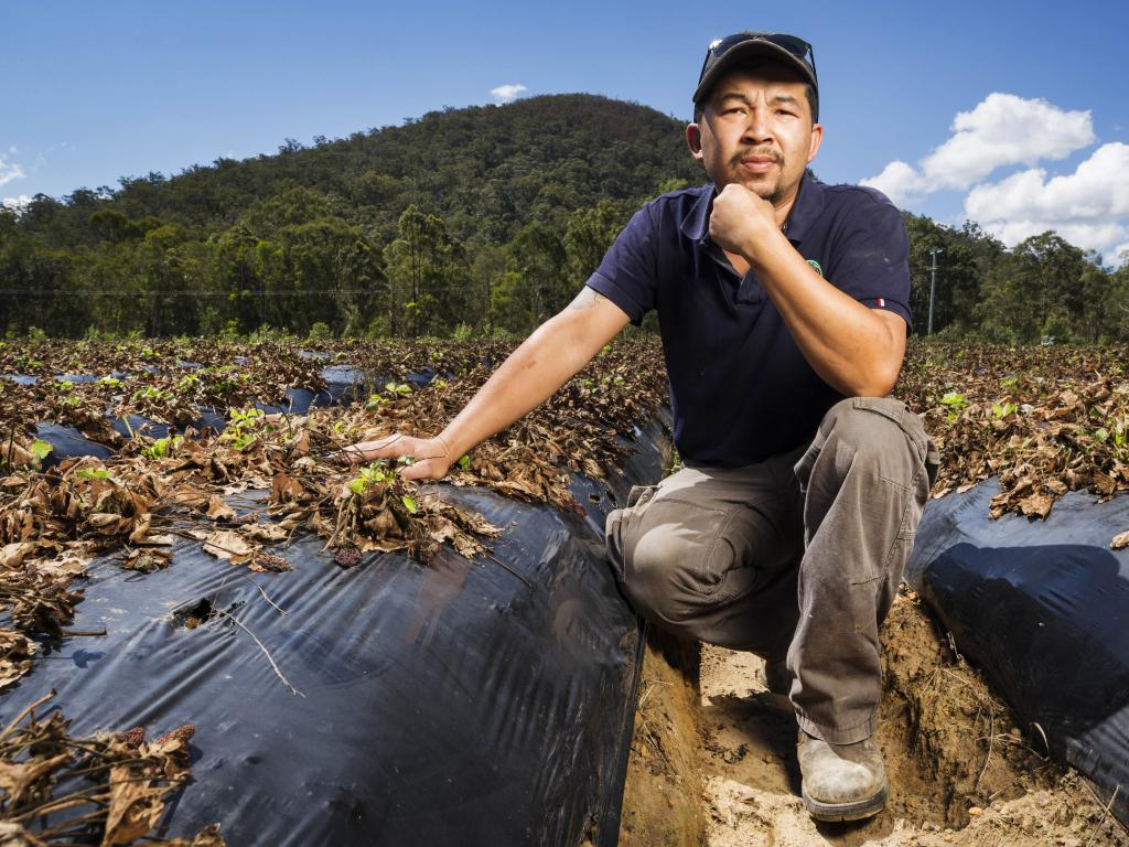 Kevin Tran, pictured in a poisoned strawberry field, gives his business a '50/50' chance of survival. Picture: Lachie Millard