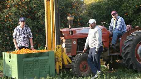 Harvest season for oranges beginning in Leeton next month.