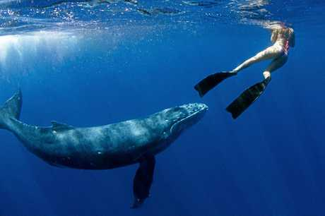 WATER CREATURES: Steph Gabriel, pictured swimming with a humpback whale in Tonga in 2015, has launched a recycled plastic swimwear range.