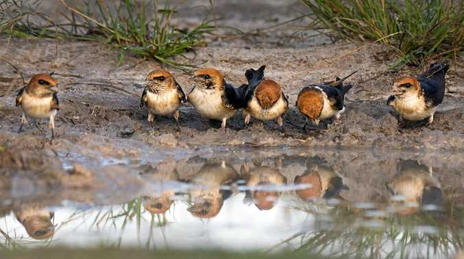 HERE'S LOOKING AT YOU: Olivia Kimber's photo of fairy martins won her the Gerard Mills Memorial Prize for Wildlife Photography.