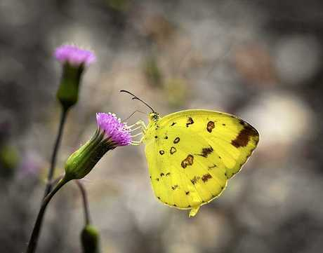 Bernice Wood's photo of a yellow grass butterfly claimed second prize.