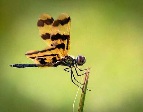 Jessica Bettega's shot of a graphic flutterer dragonfly won third prize in the Gerard Mills Memorial Prize for Wildlife Photography.