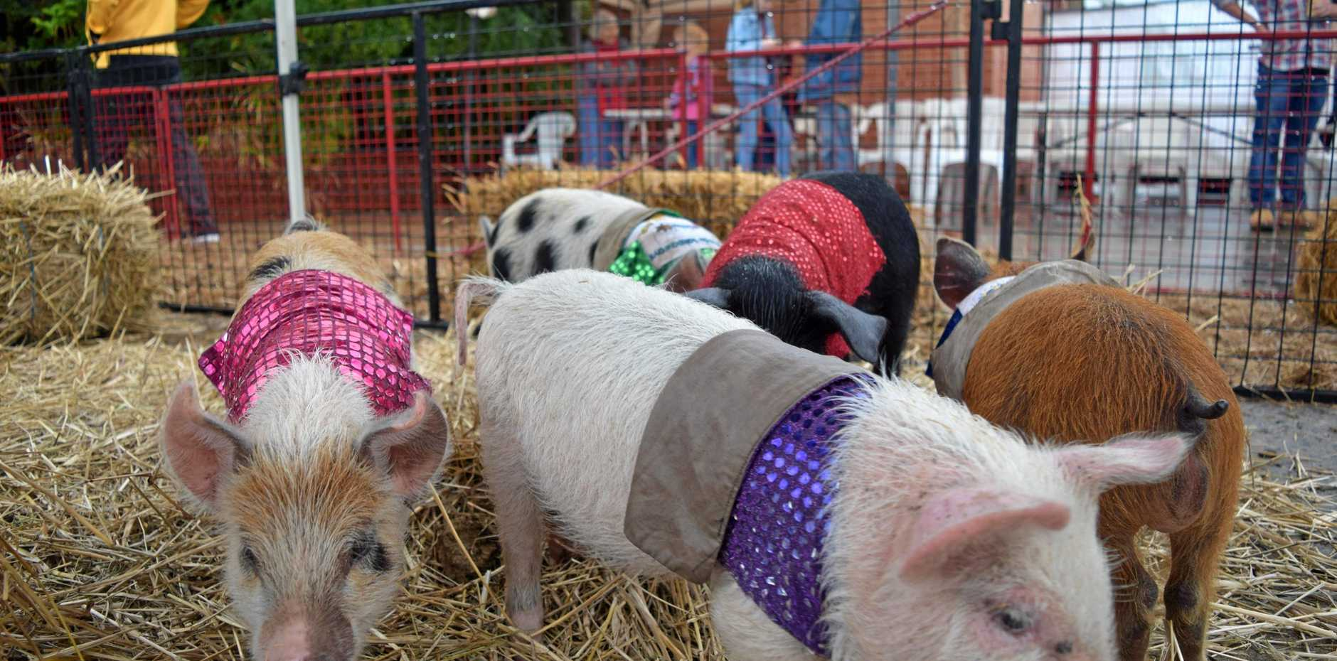 THIS LITTLE PIGGY: Pigs under starters orders at South Lismore Station Hotel for U.G.L.Y event.