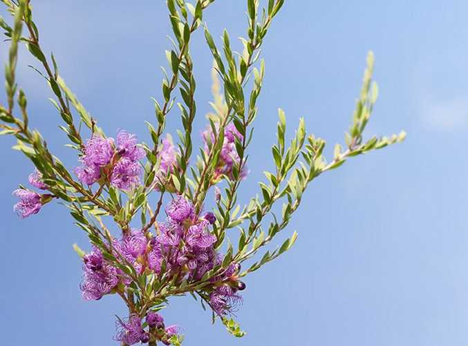 The Australian melaleuca purple wildflower is a hardy native that thrives in our climate.
