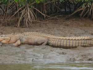 Large croc filmed on tourist beach