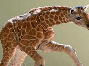 Baby giraffe steals the show at Australia Zoo