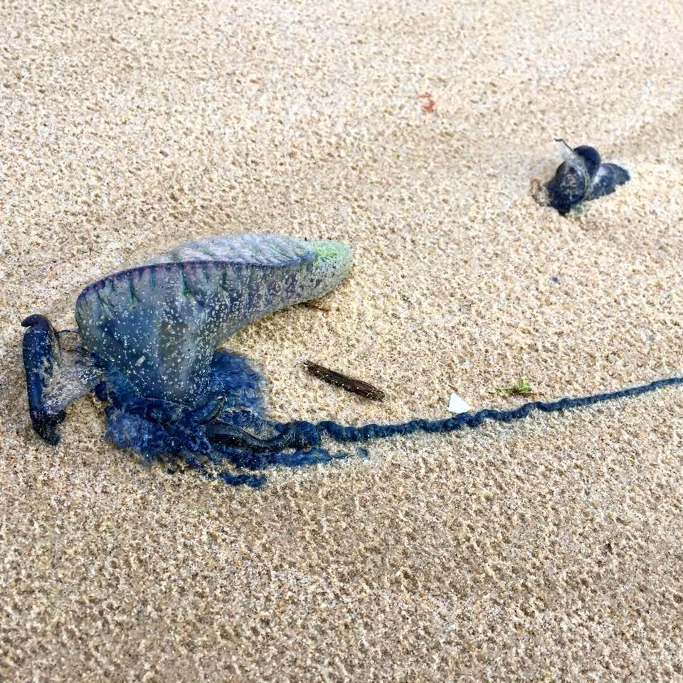 Thousands of bluebottles have washed up on North Coast beaches.