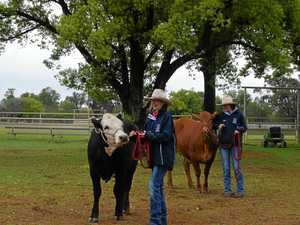Learning the ropes of cattle handling