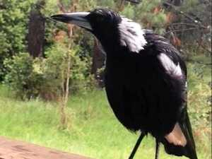 The dog-mimicking magpie you need to hear to believe