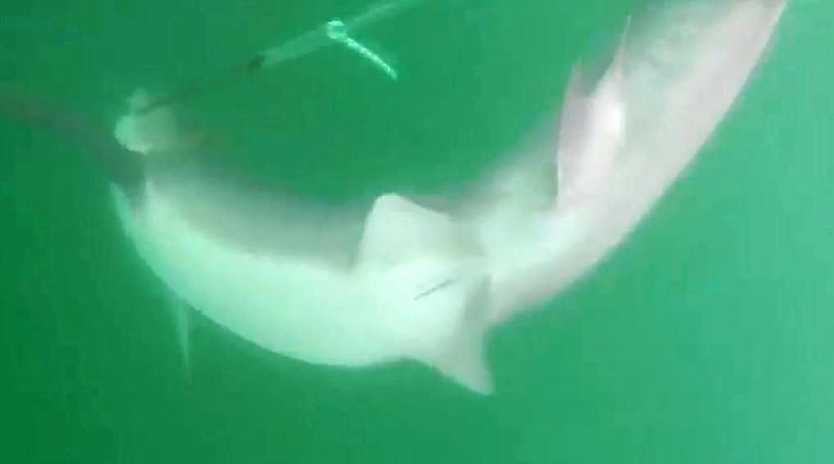 SHARK DIES: A female tiger shark caught in a drumline off the coast of Bargara was euthanised after more than 24 hours.