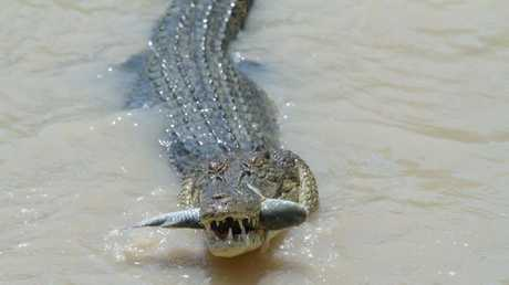 Crocodile snapped catching a mullets jumping over