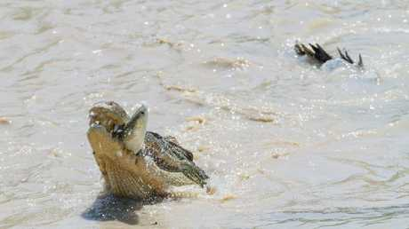 Crocodile snapped catching mullets jumping over Ca
