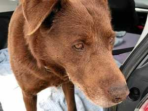 Skinny red kelpie found in the trash at Killarney