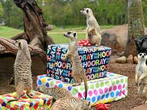 Australia Zoo meerkats turn two
