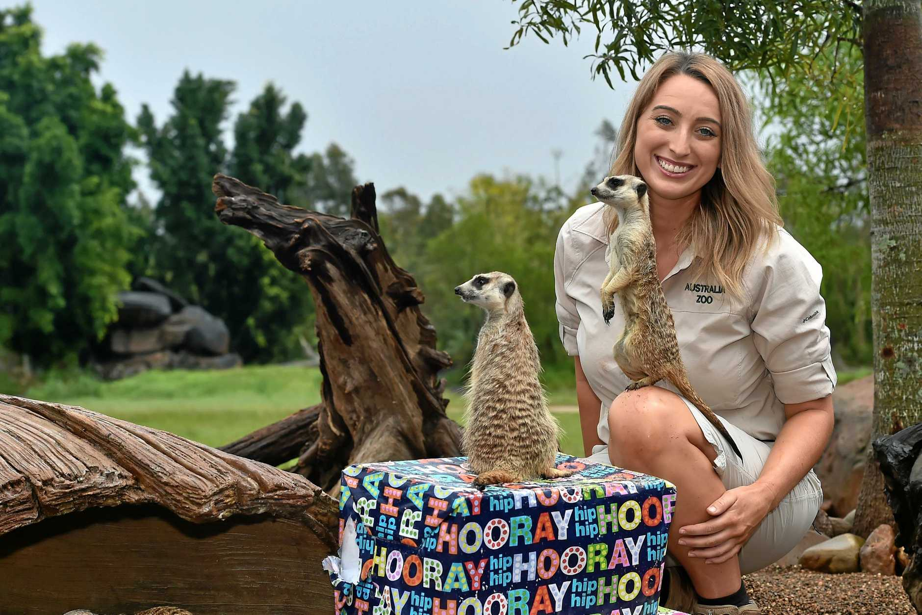 Australia Zoo keeper Katherine Cove helping meerkats Fee and Fi celebrate their second birthday at the zoo's Africa section.