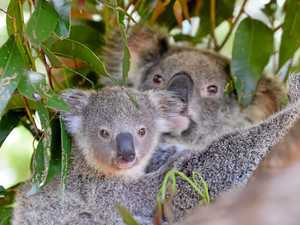 LAND WANTED: Can you give a koala a home?