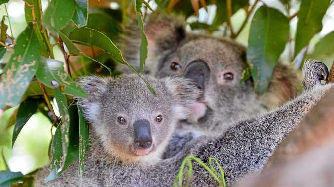The NSW Government is investing $20m to buy suitable land for koalas.