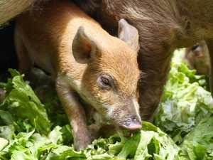 Tasty treat lures baby pig back to Cairns family