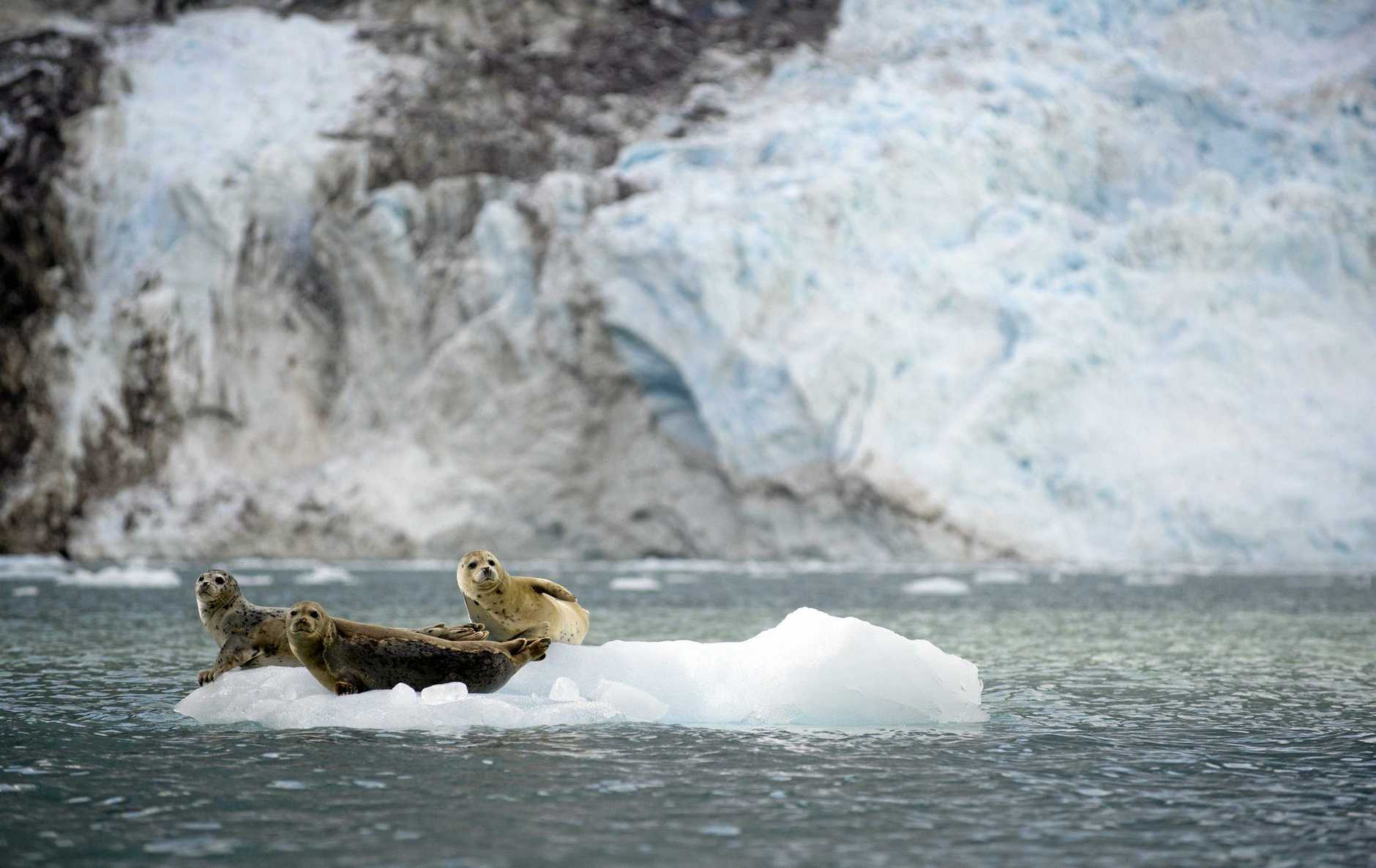 Near a glacier, harbor seals rest on an ice flow in Alaska.