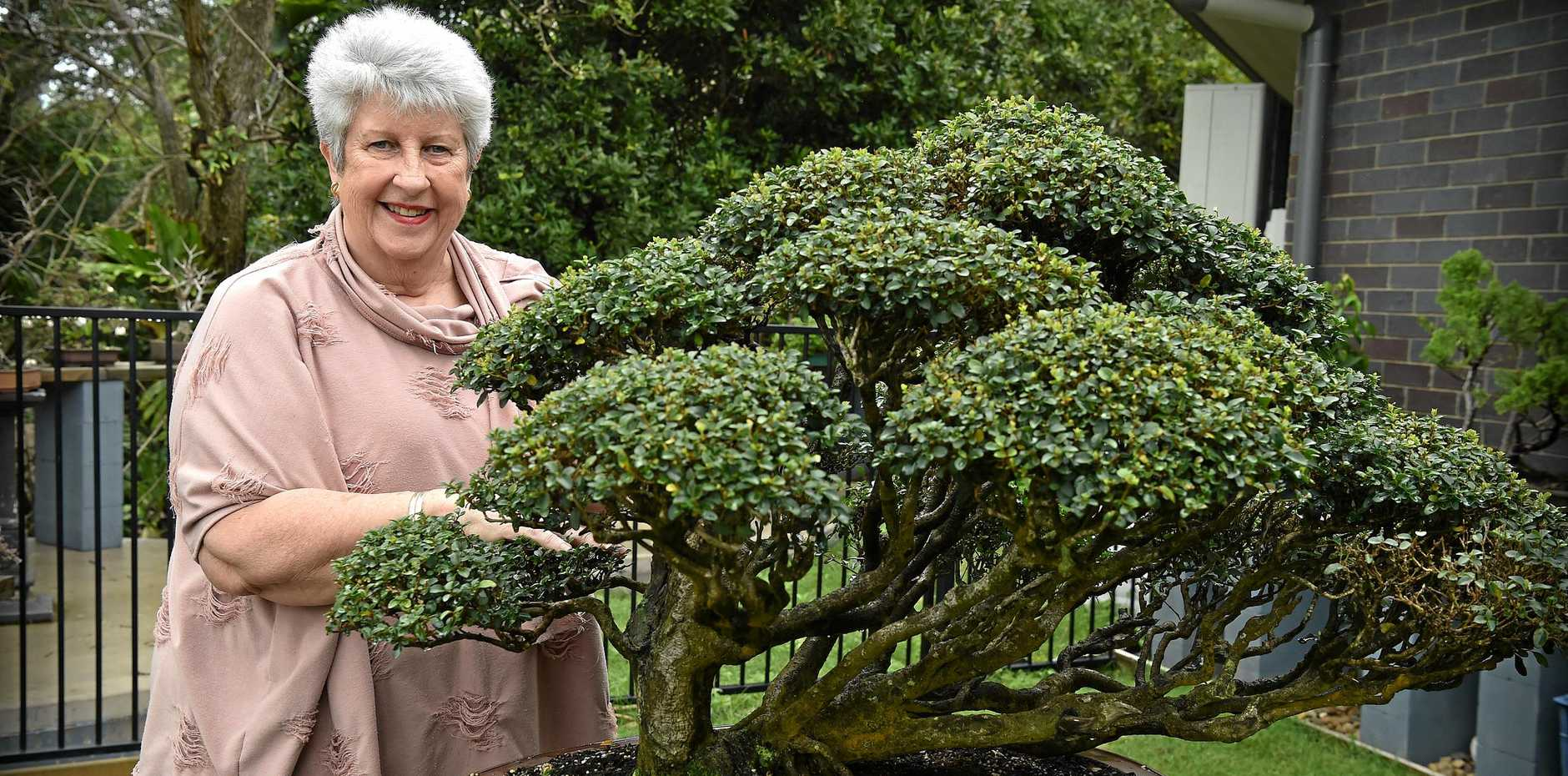 Sunshine Coast Bonsai Society President, Margaret Roberson , prepares her trees for the annual show.