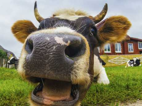 The mad cow disease case is the first in Scotland since 2008. Picture: Supplied