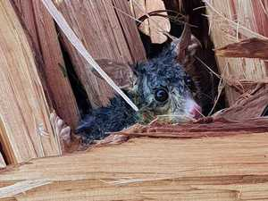 Possums stuck under tree in storm: 'Frightened, drenched'