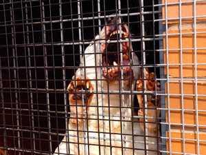 Dangerous dogs headed for Jaca Thursday