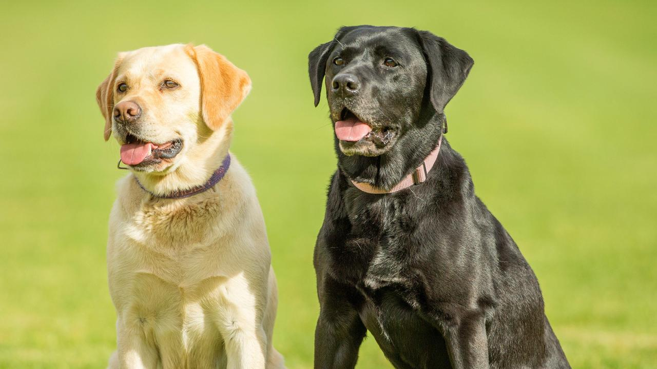 Yellow and black Labradors live longer and are less sick than their chocolate cousins. Picture: Mark Stewart