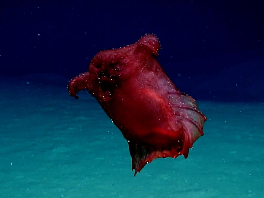 Aussie Scientists have captured footage of a deep-sea swimming sea cucumber known as the 'headless chicken monster. Picture: Supplied'