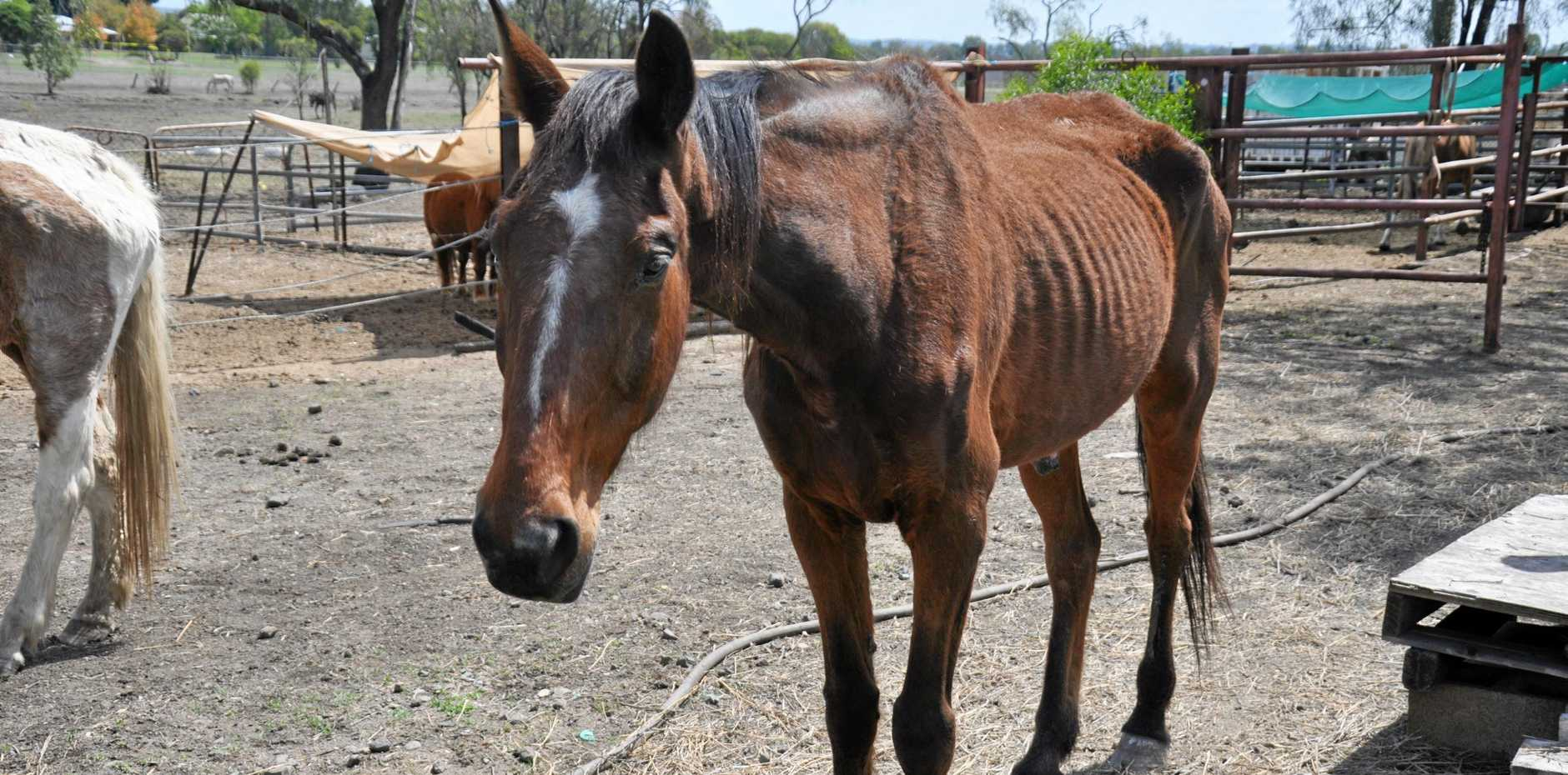 CONFRONTING: Horrified neighbours have reported the shocking condition of malnourished horses in a paddock at Thangool.