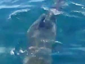 'Amazing to see': Fisherman films huge sharks savaging whale