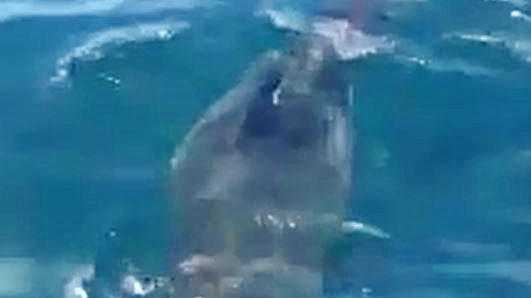 Sharks were ripping into a whale carcass floating about 5km off Point Cartwright.