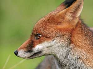 Warning for Coast pet owners as fox baiting begins