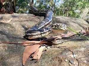 Man bitten by snake in Coast bushland