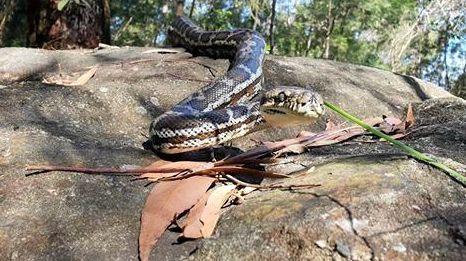 Man tackles huge python on his own
