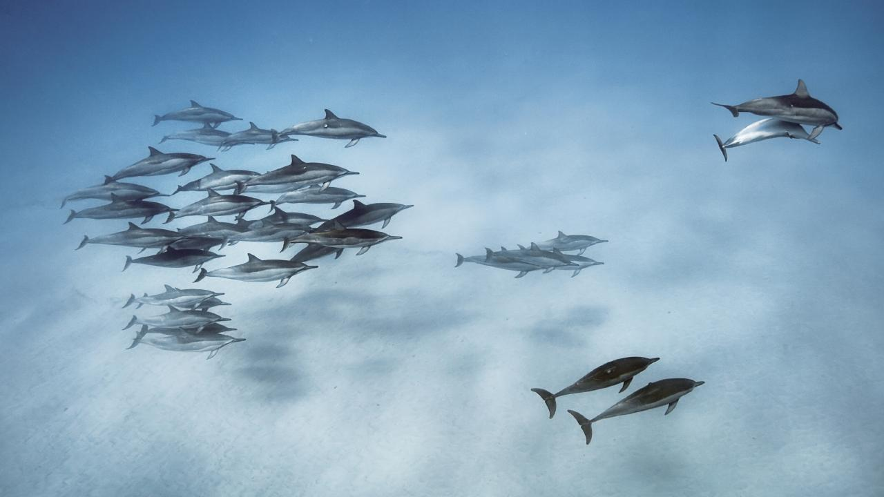 The research found dolphins may avoid safer spaces for rest because of human interaction, leaving them exposed to predators. Picture: Brian Skerry