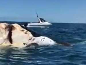 Sharks chomping down on whale carcass off Mooloolaba. Video: Ashley Symonds