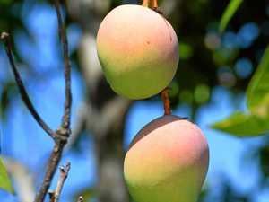Humour Column: 'Tis the season of mango madness!
