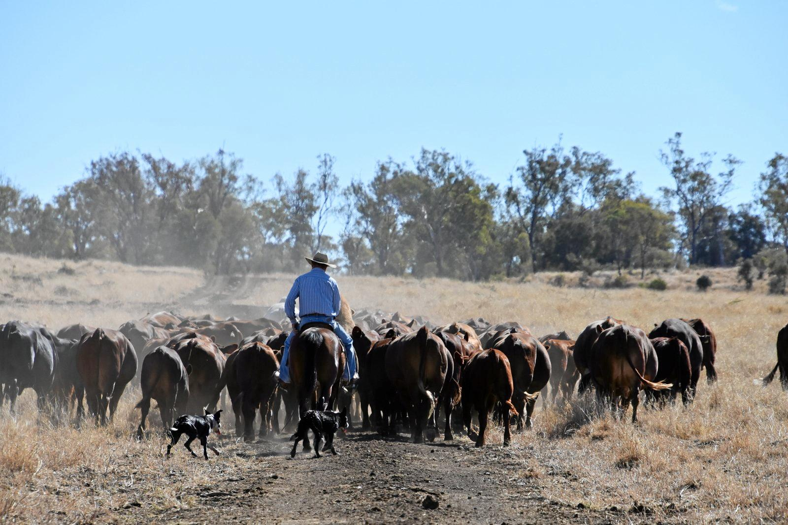 Tim droving some cattle with his trusty mates by his side.