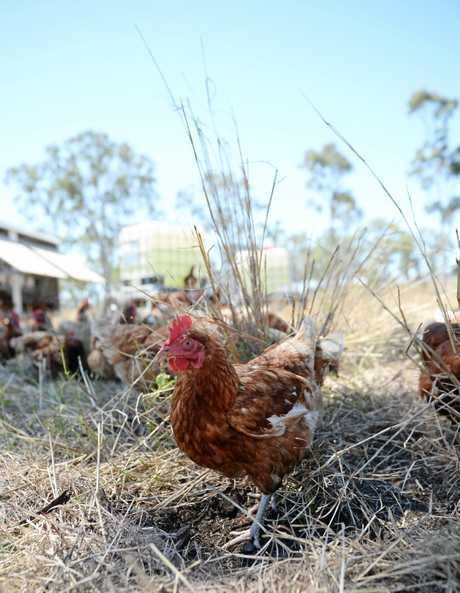 The 600 hens lay 530 eggs a day.
