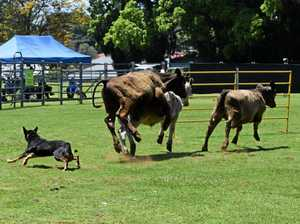 Horses, goats and mayhem at the Alstonville Show
