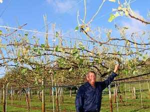 $150,000 worth of kiwi fruit smashed in storm