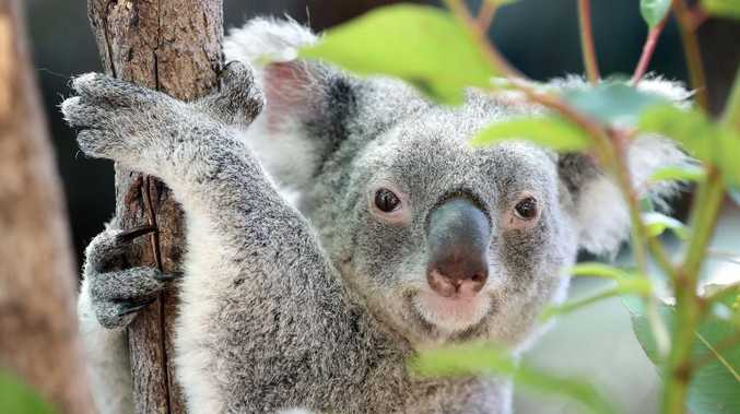 The future of koalas in the wild laid bare
