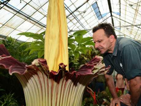 The Titan Arum — or Corpse Flower at Botanical Gardens Nursery co-ordinator David Robbins