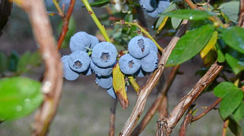 Smart Berries in Mundubbera are gearing up for their busiest period.