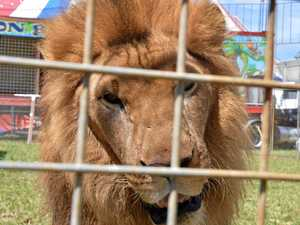 OPINION: Circus lion still the boss of caged kingdom