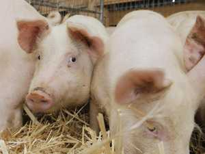 Animal activist has Pittsworth piglet theft charges reduced