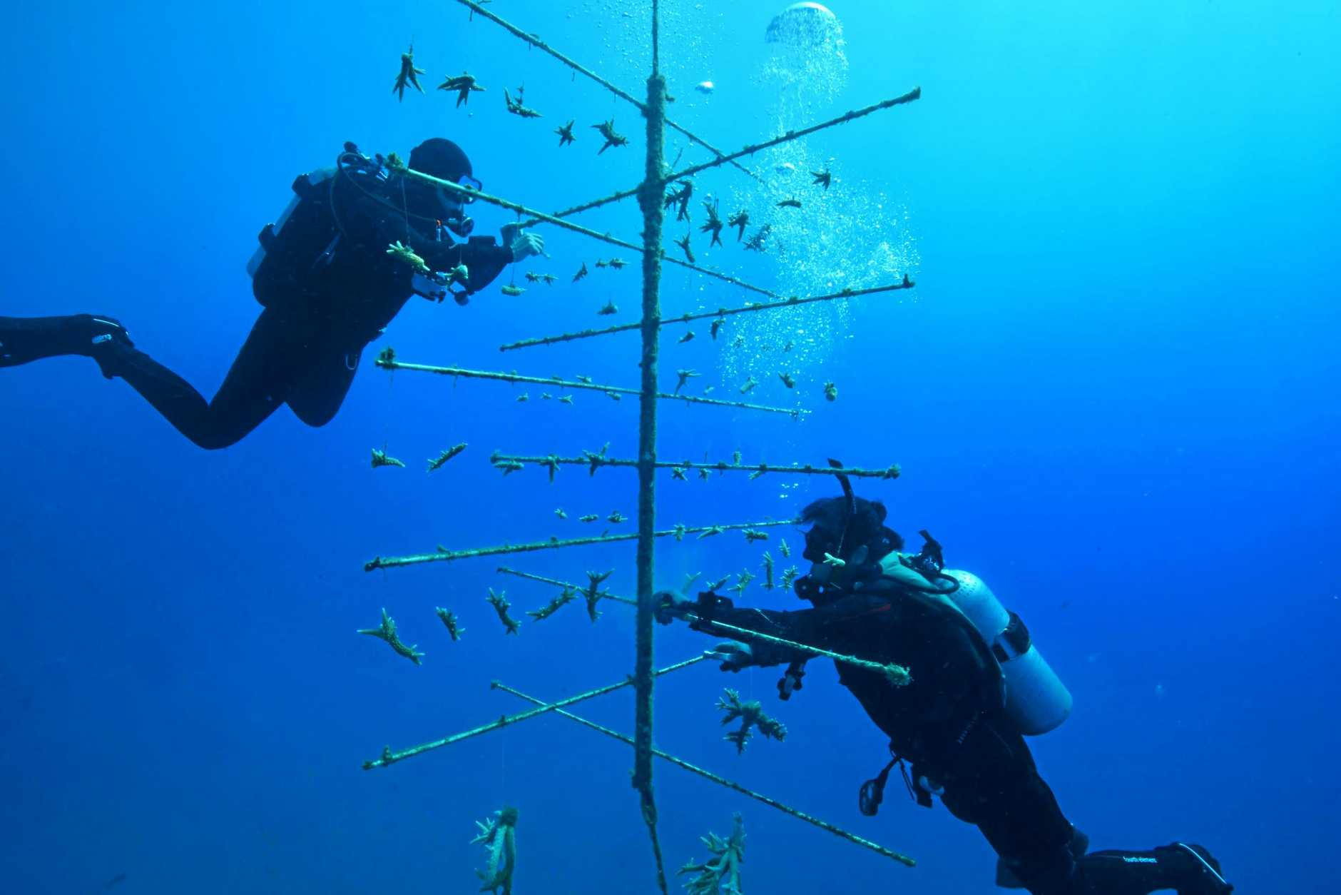 Divers maintain one of the coral tree frames near Fitzroy Island.