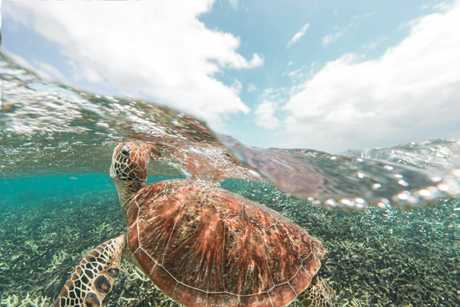 Green turtle swim in the Great Barrier Reef.